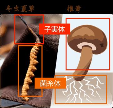 菌糸体と子実体 冬虫夏草と椎茸の比較